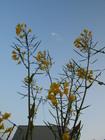 ブロッコリーの菜の花